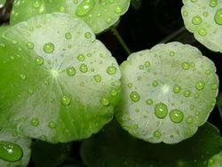 Asiatica Centella Extract