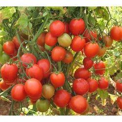 Red And Green Arka Rakshak Tomato Seeds