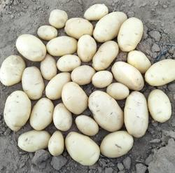 Export Quality Fresh Potato, Pack Size (Kilogram): 25