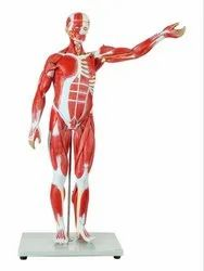 Kay Kay Industries Pvc Muscle Man Anatomical Model