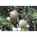 Wood Apple/  Feronia Limonia Fruit Seed