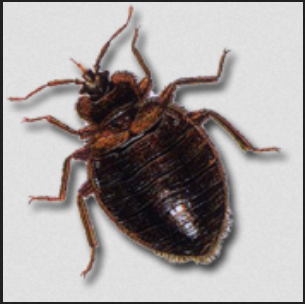 Bed Bug Control Treatment Bed Bugs Control In Lalbaug Mumbai