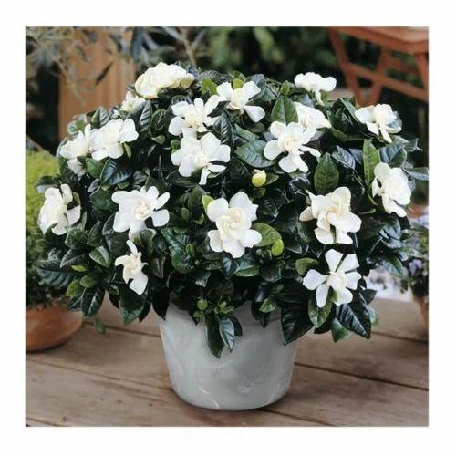 Mogra Plant Flower Plant Mukesh Nursery Mumbai Id 17958484297