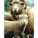 Sheep Feed Pellets