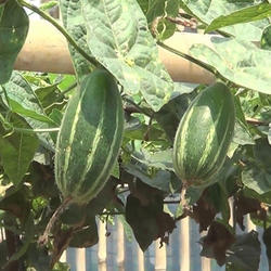 TC Pointed Gourd Plants