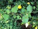 Abutilon Indicum (Atibala)