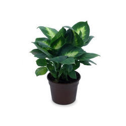 5 To 6 (diameter) Black Plastic Plant Pot, Size: 5 To 7 Inch (height), for Garden