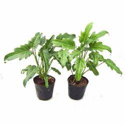 Xanadu Plants