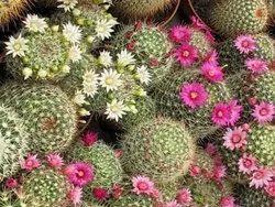 Mammillaria Cactus Plant