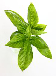 Indian Basil Oil