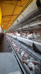 Automatic Layer Poultry Cage