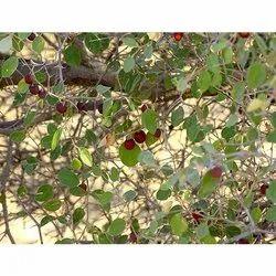 Ziziphus Mauritiana Tree