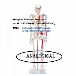 Human Skeleton at Best Price in India