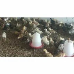 Country Aseel Chicks