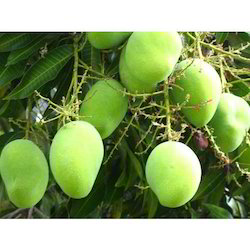 Mango Fruit Plants