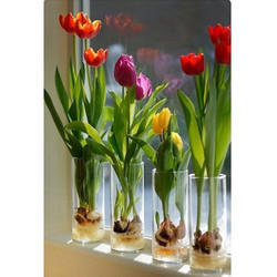 Tulip Bulbs Plant