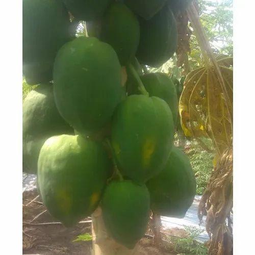 Taiwan Papaya Fruit 786 At Rs 11 Bag East Godavari Rajahmundry