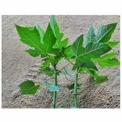 Papaya Taiwan Queen Seedlings