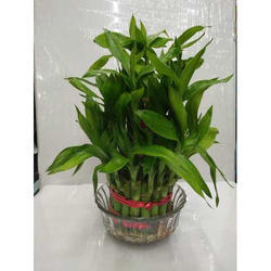 Lucky Bamboo Plant Indoors Outdoors with Glass Pot for Gifting Purpose - For Home or Office