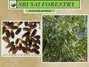 Acacia Crassicarpa Seeds