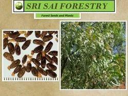 Timber Seeds