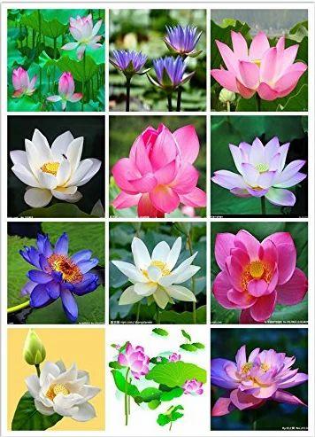 Organic Lotus Flower Seeds Mixed Varieties 20 Seeds Pack