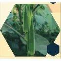 Lady-21 F1 Hybrid Bhindi Seeds