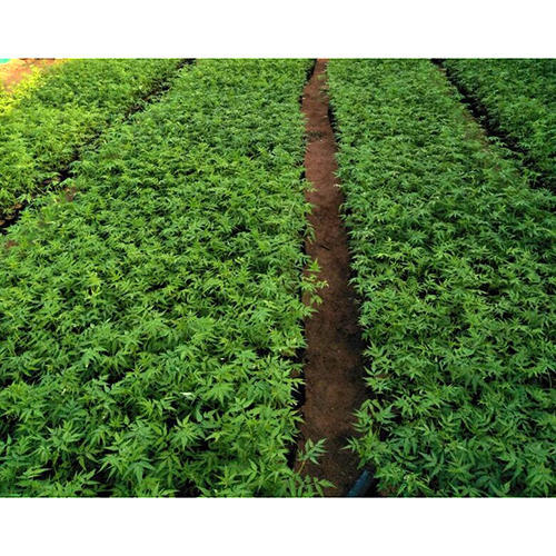 Nursery Melia Dubia Plants