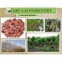 Ssf Natural Gliricidia Sepium Seed, Pack Type: Pp Bag, Pack Size: 25 Kg