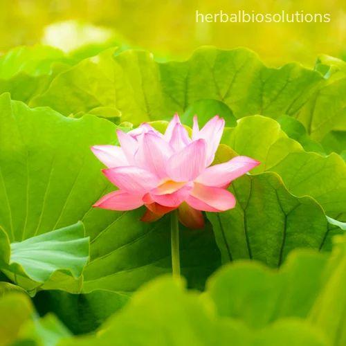 Lotus extract herbal bio solutions unit of scientific lotus extract mightylinksfo