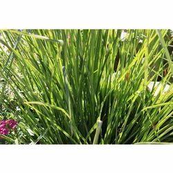 Green Palm Rose Palmrosa Slips, For Garden