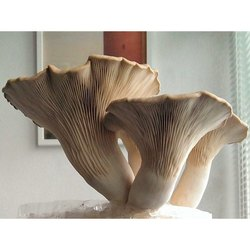 Natural White Biswas Oyster Mushroom Spawn, Packaging Type: Plastic Packet, Packaging Size: 200 Gram