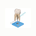 Lower First Molar with Three Roots Model