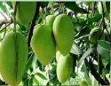 Upaaj Export To Bulk Grade Mangoes Dusseri Mango