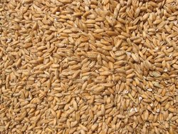 Indian Brown Wheat Grains, Gluten Free, Pack Size: 50