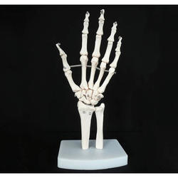 Life- Size Hand Joint