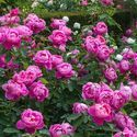 Hot Show Dutch Rose Plants