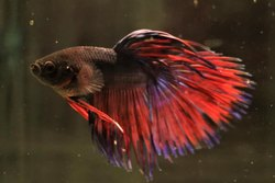 Betta Fighter Fish, Size: 2 Inch