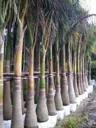 Royal Palm Plants