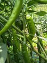 Green Chillies(( Bulk Quantity -&- Exporters inquiries only))
