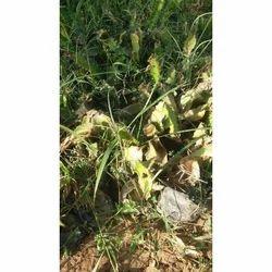 Shisam Plant