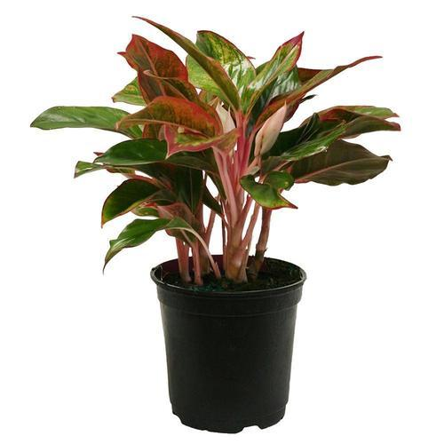 Indoor Evergreen Trees: Chinese Evergreen Plants, एग्लाओनेमा का पौधा, एग्लाओनेमा