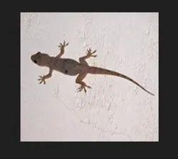 Lizards Control Services