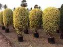浇水塑料榕属威胁厂,花园
