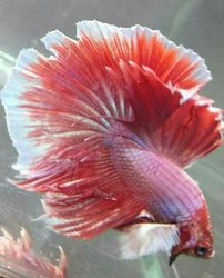 Red And White Betta fish, Size: 1-2 Inches Size, Depends On Mentaince