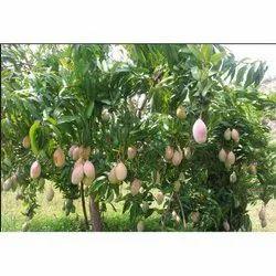 Mango Plant