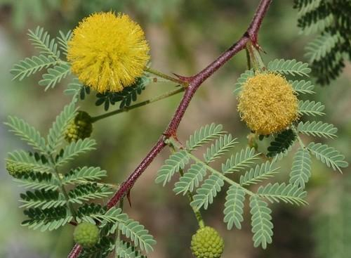 Acacia Arabica View Specifications Details Of Acacia Arabica By