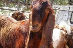 Damascus Goat | Belhe, Pune | Utkarsh Goat Farm | ID