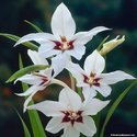 Orchid & Lily Fragrance