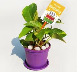 Gift Plants Collection - Corporate Gifts, Birthday Gifts, Anniversary Gift and Return Gifts